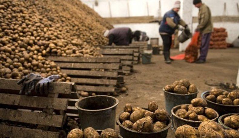 Қирғизистон Туркманистонга картошкани экспорт қила бошлади